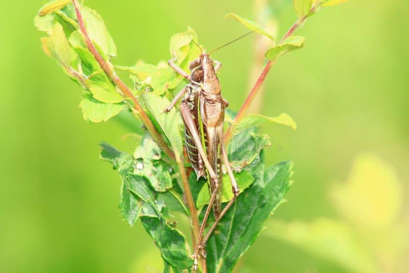 在草的蝗虫 免版税库存照片