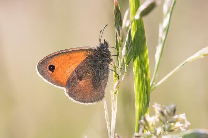 在草的蝴蝶小荒地Coenonympha pamphilus偷偷靠近 免版税库存照片