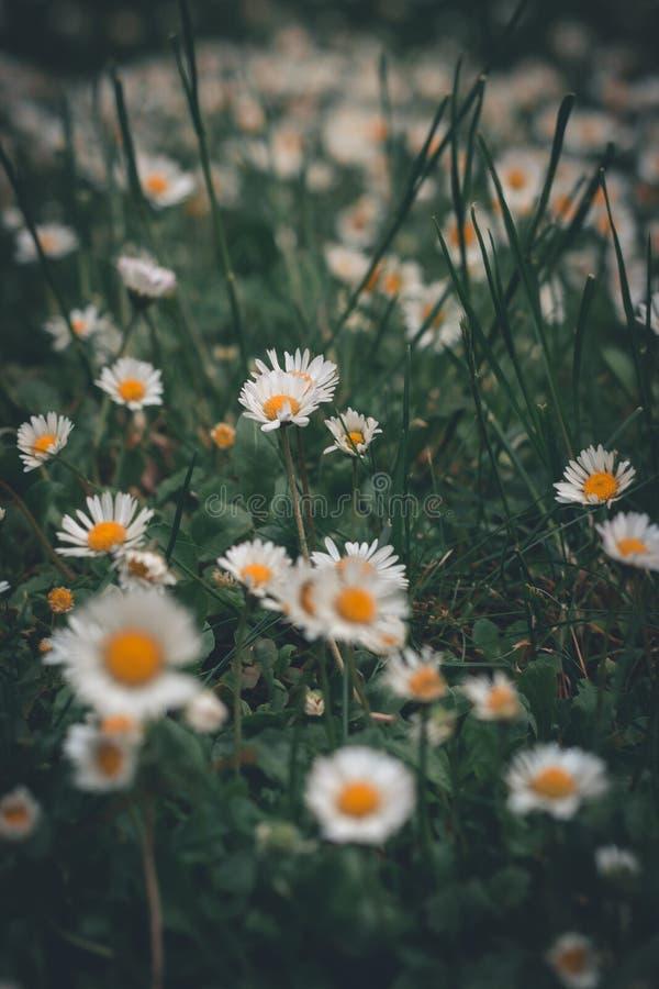 在草的许多雏菊 库存图片
