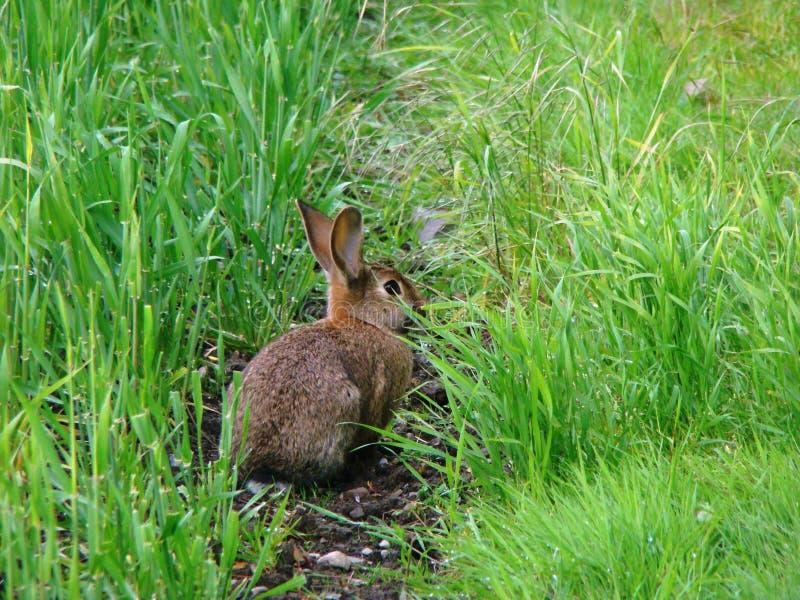 在草的逗人喜爱的小的兔宝宝 库存图片