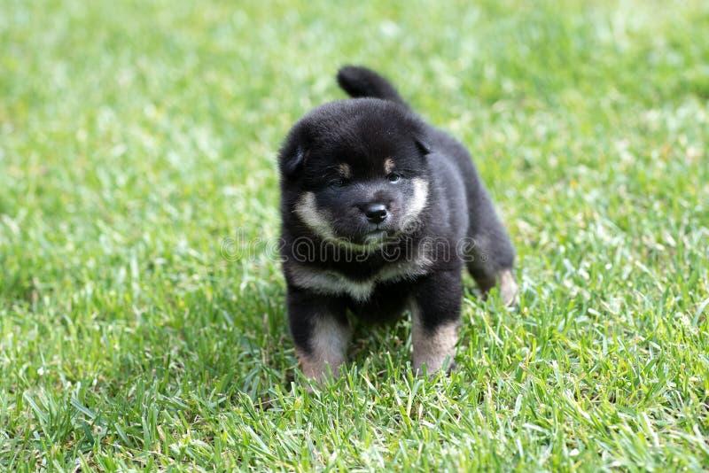 在草的逗人喜爱的棕褐色的shiba inu小狗 库存照片