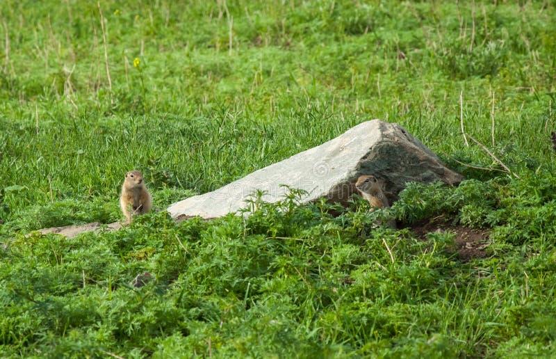 在草的逗人喜爱的狂放的地鼠 库存照片