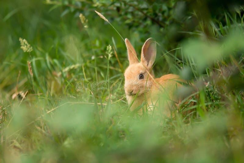 在草的逗人喜爱的米黄兔子 库存图片