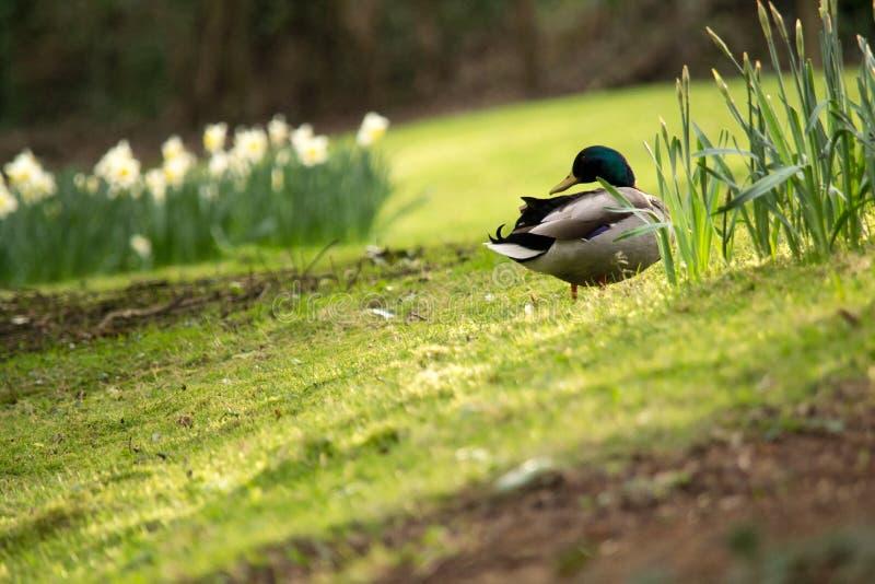 在草的野鸭鸭子 免版税图库摄影