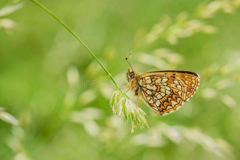 在草的错误荒地贝母蝴蝶 免版税库存图片