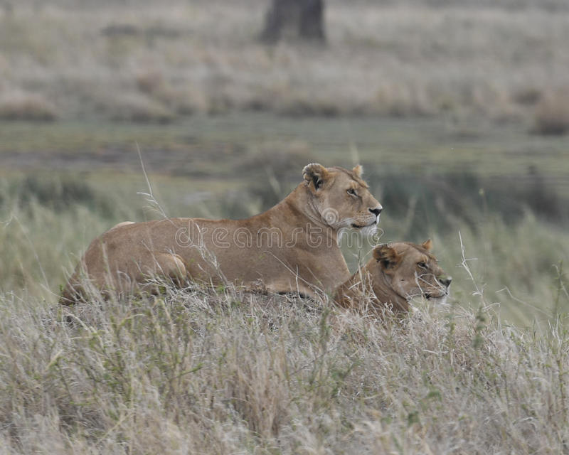 在草的雌狮和崽Sideview  库存照片