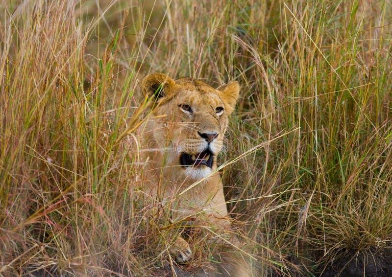 在草的雌狮 大草原 国家公园 肯尼亚 坦桑尼亚 马赛马拉 serengeti 库存图片
