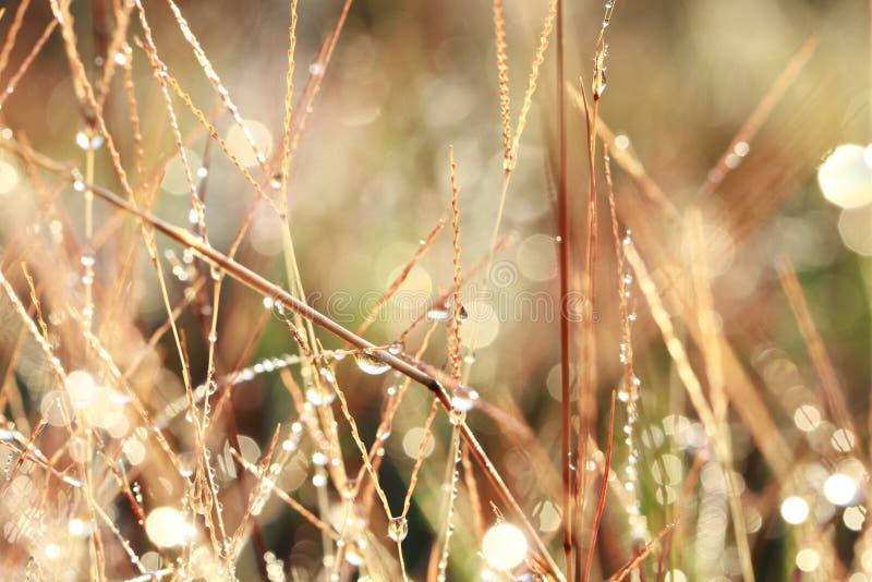 在草的露珠 免版税库存照片