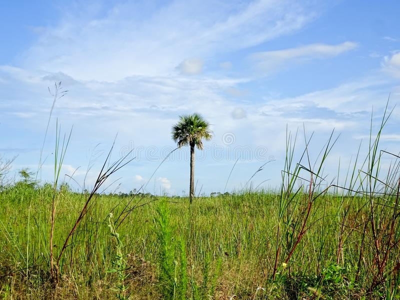 在草的领域的一棵棕榈树 库存图片