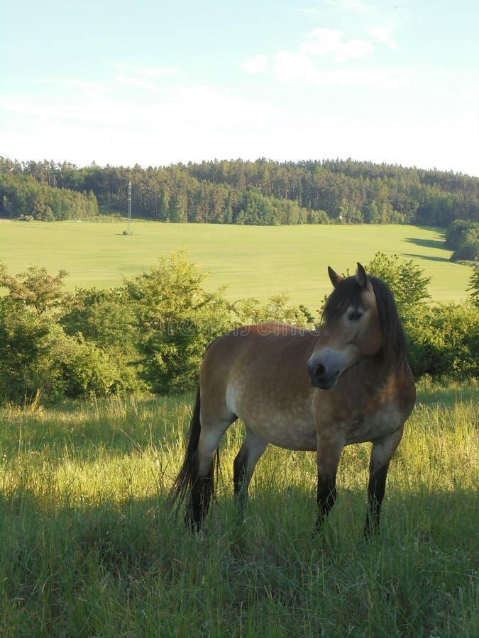 在草的马在小山 库存照片
