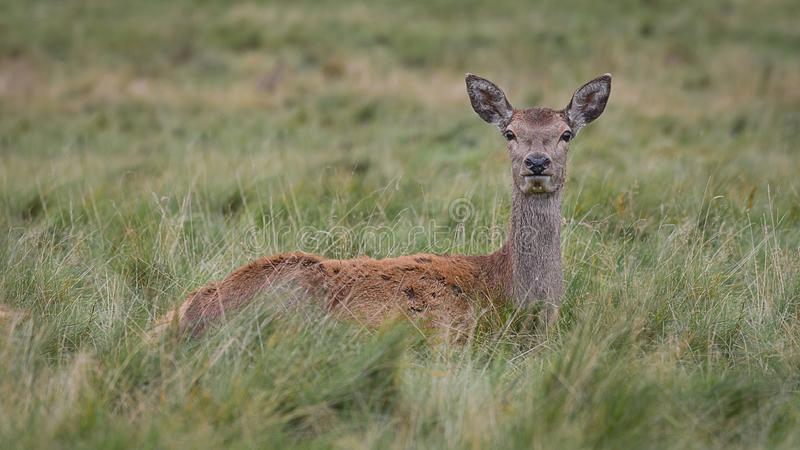 在草的马鹿母鹿 免版税库存图片