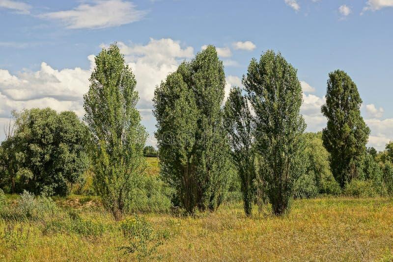 在草的高绿色树在反对天空的一个草甸 免版税库存图片