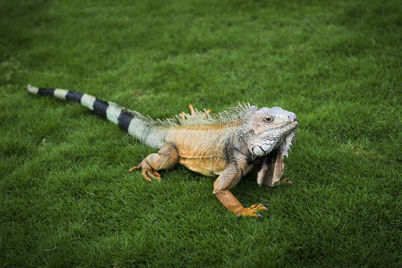 在草的鬣鳞蜥在一个公园在瓜亚基尔在厄瓜多尔 免版税库存图片