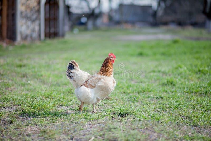 在草的鸡在农场 为在草的步行的橙色鸡母鸡 图库摄影