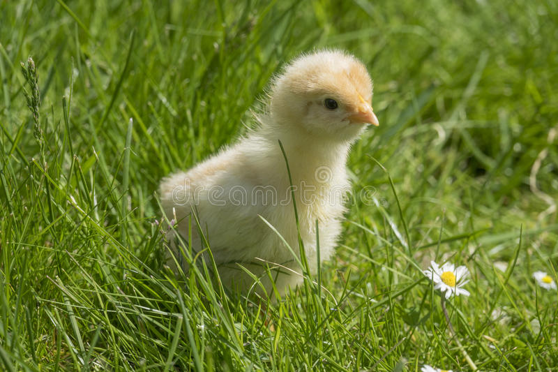 在草的鸡 免版税库存照片