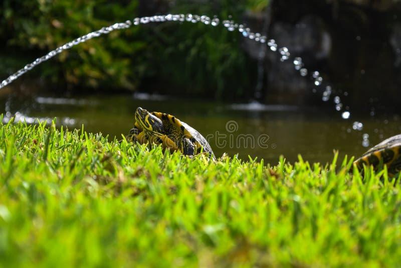 在草的黄色乌龟 免版税库存照片