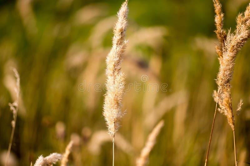 在草的黄色耳朵在秋天公园 库存照片