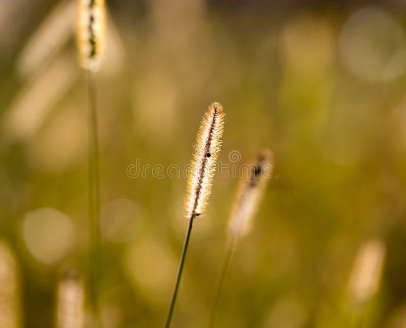 在草的黄色耳朵在秋天公园 免版税图库摄影