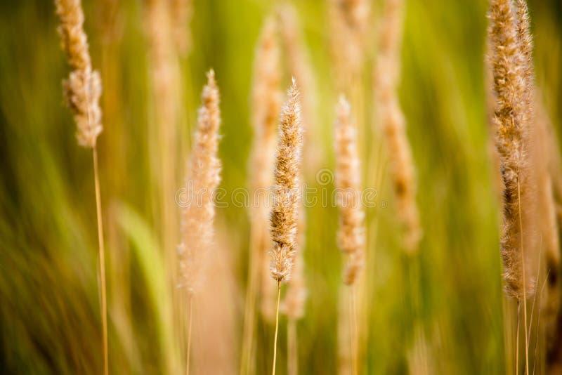 在草的黄色耳朵在秋天公园 免版税库存图片