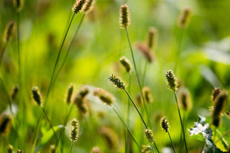 在草的黄色耳朵在秋天公园 库存图片