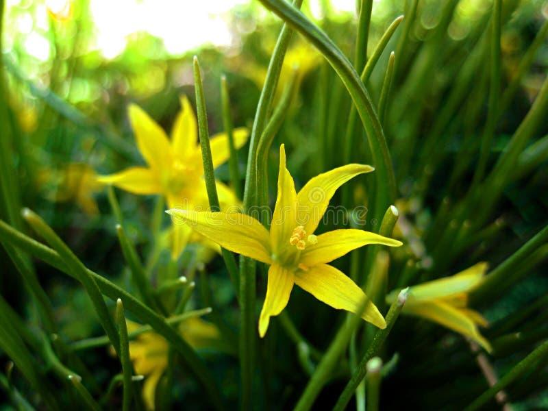 在草的黄色花 库存照片