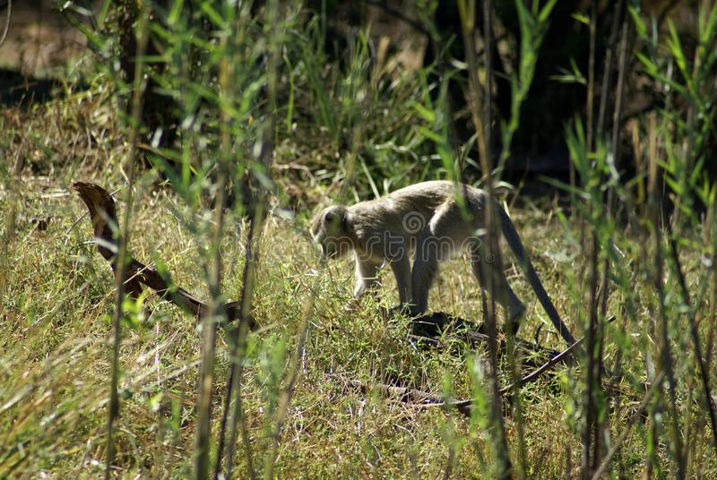 在草的黑长尾小猴 库存照片