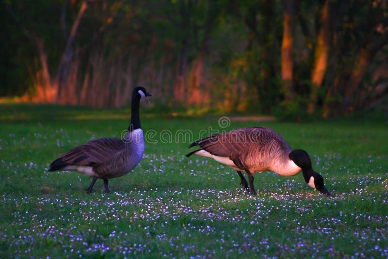在草的黑雁夫妇在春天 免版税库存照片