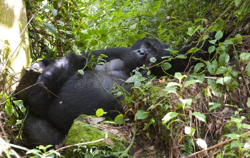 在草的统治公山地大猩猩 乌干达 Bwindi难贯穿的森林国家公园 库存照片