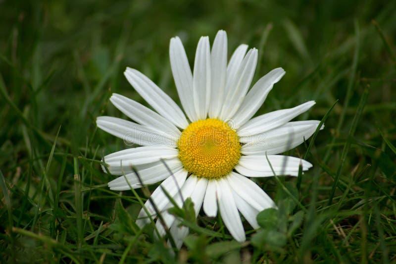 在草的延命菊 免版税库存照片