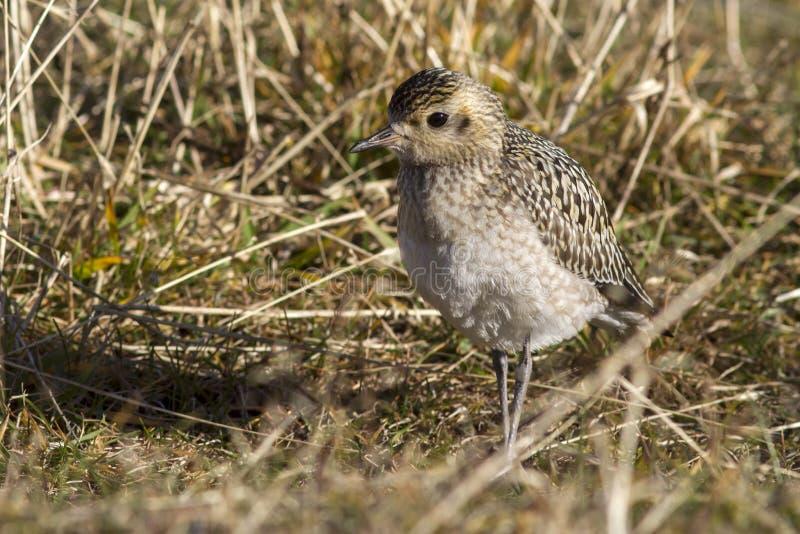 在草的年轻和平的金黄珩科鸟秋天天在白令 库存照片