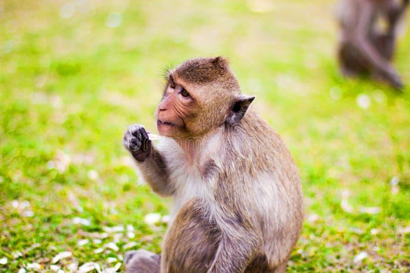 在草的猴子就座 免版税库存照片