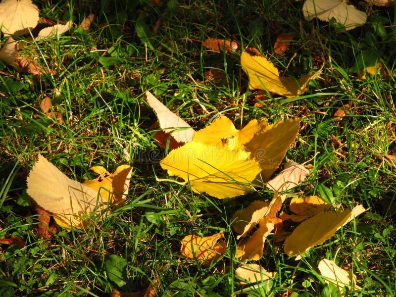 在草的黄色叶子 库存图片