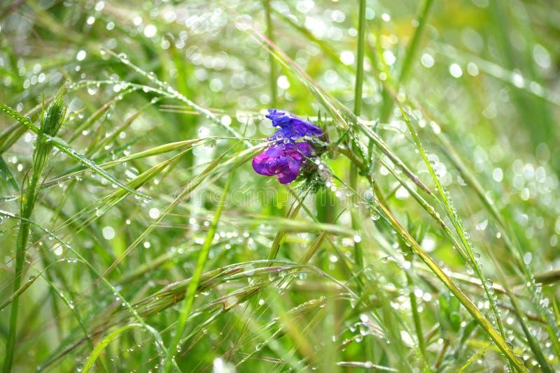 在草和露水的紫色花 库存图片