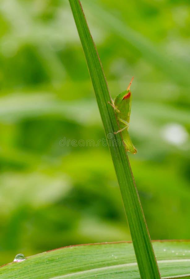 在草的绿色蚂蚱 宏观昆虫的本质与g的 免版税库存图片