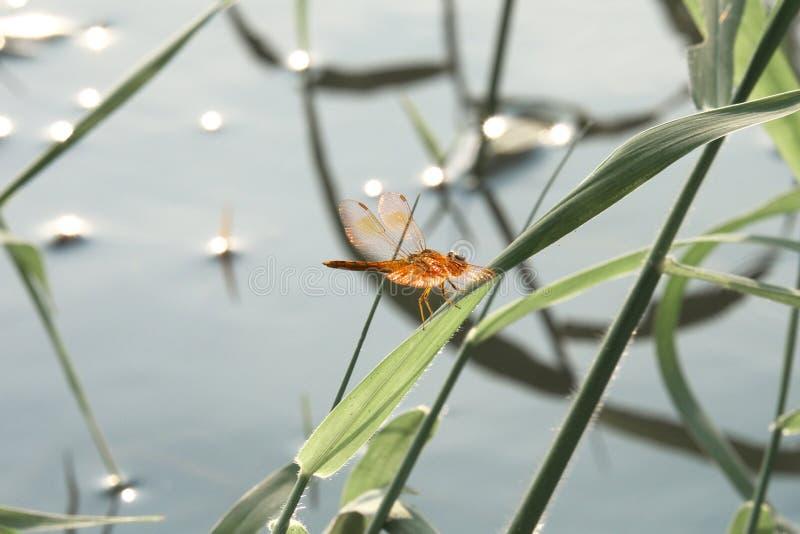 在草的蜻蜓 图库摄影