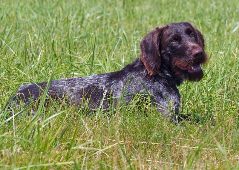 在草的drahthaar狗 免版税库存照片