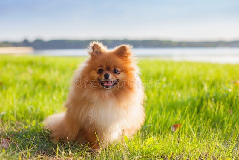 在草的Pomeranian小狗 图库摄影
