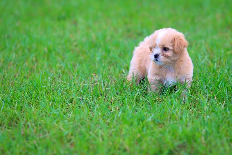 在草的Shih慈济小狗 免版税库存照片