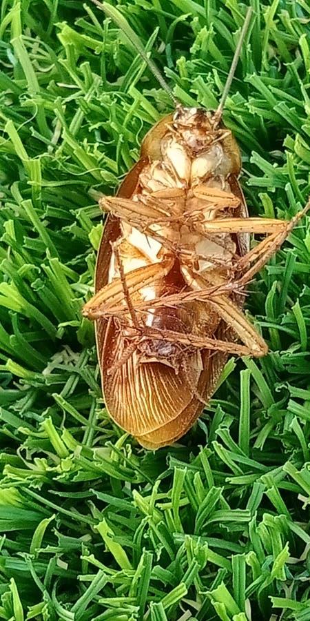 在草的Tink的死的蟑螂 免版税库存图片