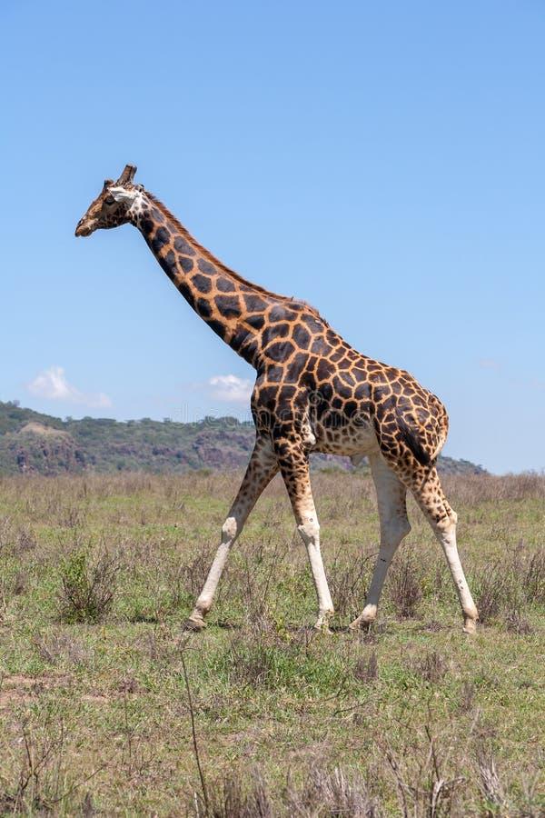 在草背景的长颈鹿  免版税库存照片