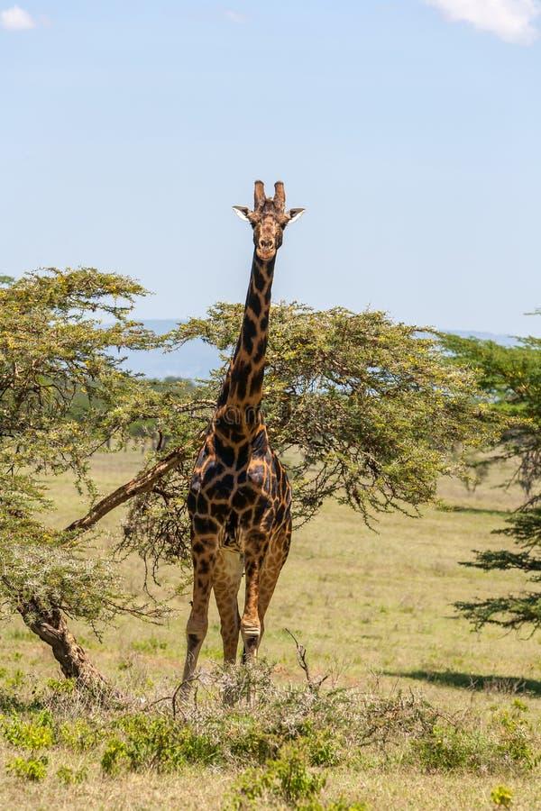 在草背景的长颈鹿  库存图片