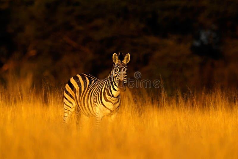 在草自然栖所抱怨斑马,马属拟斑马,平衡光,万基国家公园津巴布韦 图库摄影