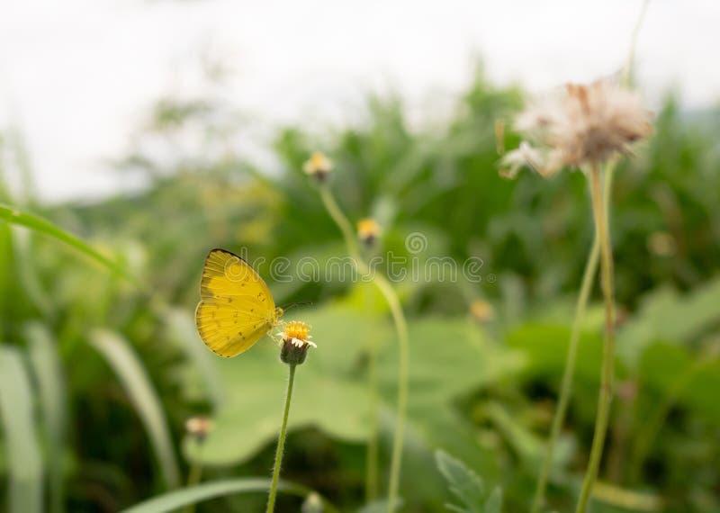 在草花的黄色蝴蝶 库存照片
