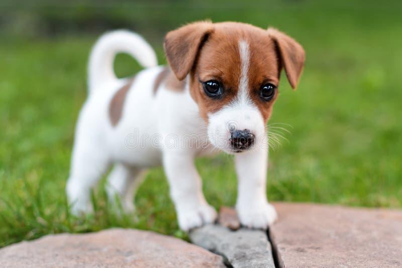 在草草甸的杰克罗素狗 小的小狗在公园,夏天走 库存图片