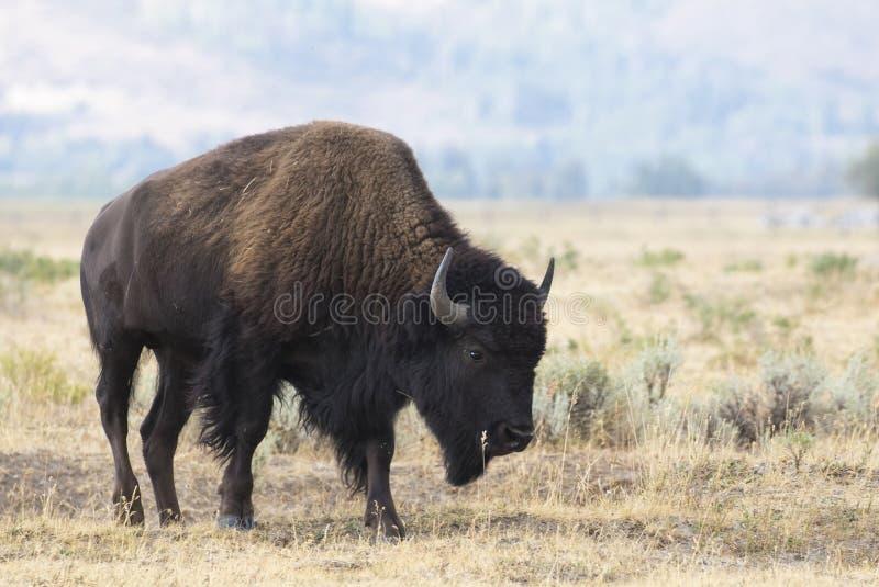 在草草甸股票图象的北美野牛 库存照片