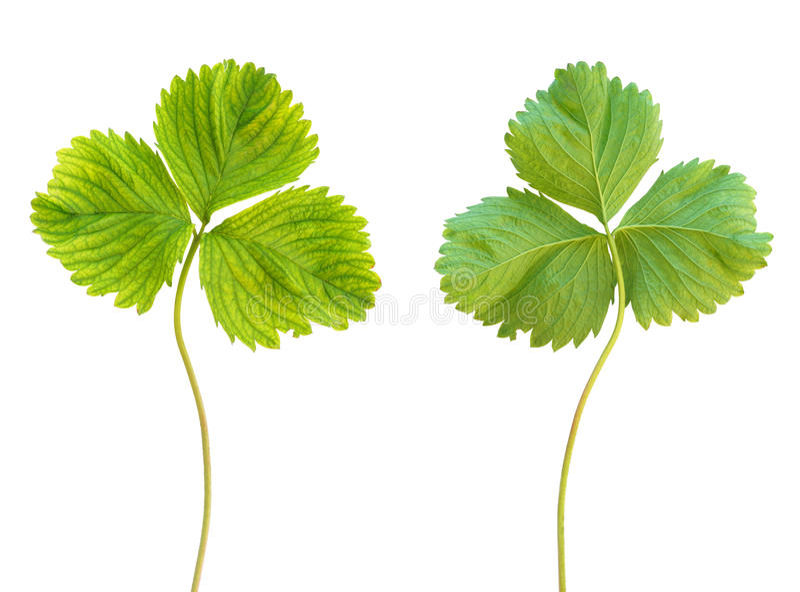 在草莓植物,失绿的铁缺乏症 免版税库存图片