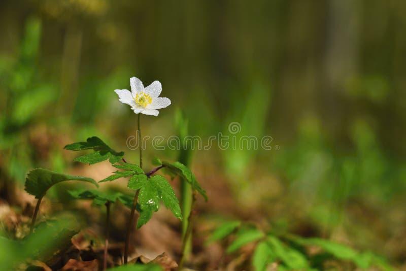 在草银莲花属Isopyrum thalictroides的春天白花 库存图片