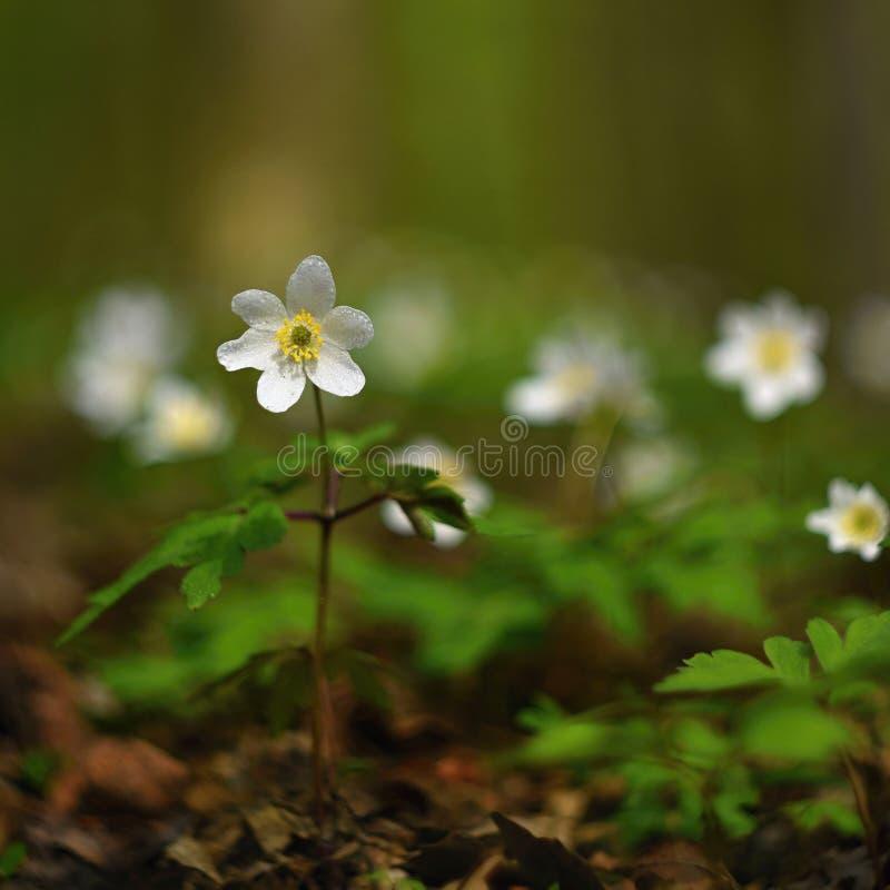 在草银莲花属Isopyrum thalictroides的春天白花 库存照片