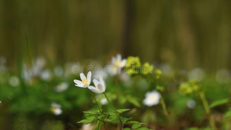 在草银莲花属Isopyrum thalictroides的春天白花 图库摄影