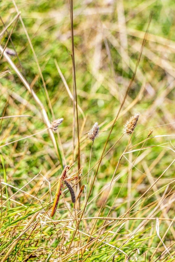 在草,保加利亚黑海海岸的螳螂 库存照片